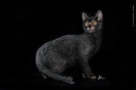 CH FLORENTINEGANG SPIDER WOLF - NudeLookSphynx